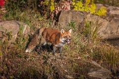 Vulpesvulpesen för den röda räven står med den öppna munnen Arkivbilder