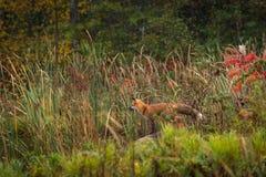 Vulpesvulpesen för den röda räven står på Rock som ser lämnad arkivbild