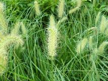vulpin de Knotroot de mauvaise herbe Photographie stock libre de droits