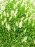 vulpin de Knotroot de mauvaise herbe Images libres de droits