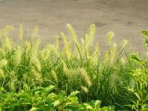 vulpin de Knotroot de mauvaise herbe Image libre de droits