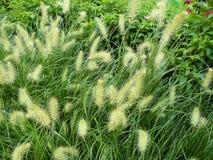 vulpin de Knotroot de mauvaise herbe Images stock