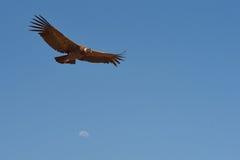 vultur för gryphus för andean condor latinsk name Royaltyfri Fotografi