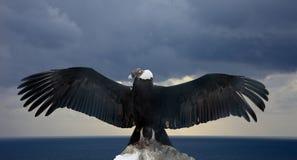 vultur för gryphus för andean condor latinsk name Royaltyfria Foton