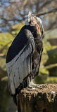 vultur för gryphus för andean condor latinsk name Arkivbild