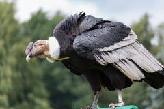 vultur för gryphus för andean condor latinsk name Arkivbilder