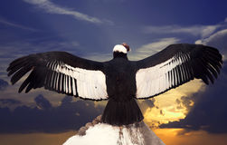 vultur för gryphus för andean condor latinsk name Royaltyfria Bilder