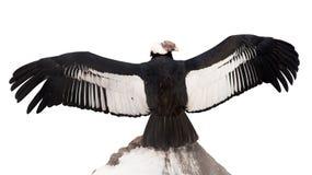 vultur för gryphus för andean condor latinsk name Isolerat över vit Arkivbilder