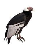 vultur för gryphus för andean condor latinsk name Isolerat över vitbakgrund Royaltyfria Foton