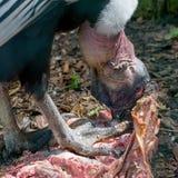 vultur för gryphus för andean condor latinsk name Matning på kadaver close upp Arkivbild