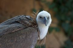 Vulture. A hungry vulture Royalty Free Stock Images
