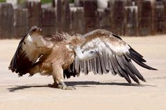 Vulture. A fantastic and sinister vulture Royalty Free Stock Images