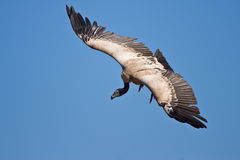 Vulture. Turning in mid air, getting ready to land Royalty Free Stock Photography