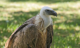 Vulture. Wild vulture in natural park Royalty Free Stock Photo