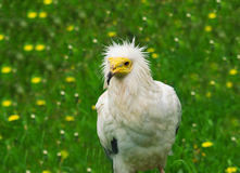 Vulture. Close up portrait of white Egyptian vulture Royalty Free Stock Photography