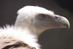 Vulture Stock Photos