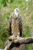 Vulture. In chiang mai night safari Royalty Free Stock Images