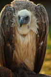 Vulture. Sitting on a branch Stock Photography