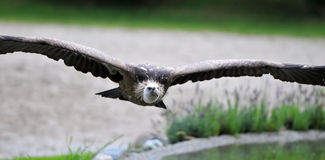 Vulture Stock Image