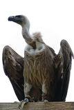 Vulture royalty free stock photos