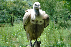 Vulture. On a pole Royalty Free Stock Images
