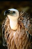 Vulture. Portrait of a vulture and metaphors stock photography