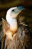 Vulture. Portrait of a vulture and metaphors stock images