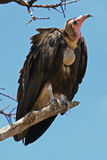 Vulture. Hooded vulture perching in tree Royalty Free Stock Photography
