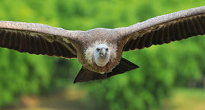The vulture Royalty Free Stock Photo