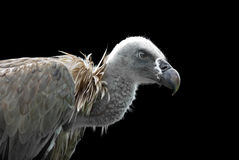 Free Vulture Stock Image - 21985281