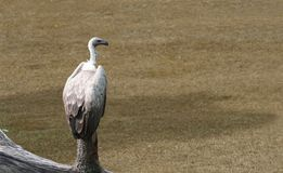 Vulture. Sitting on pole, waiting for pray stock photos