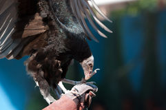 A vulture Stock Photography