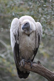 Vulture. Full length closeup portrait of a Cape Griffon Vulture, also known as a Cape Vulture - part of the Accipitridae family. Found in Southern Africa stock photo