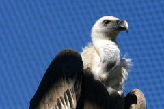 Vulture #3. Giant vulture standing with a blue background Royalty Free Stock Photos