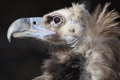 Vulture. A close-up of a vulture Royalty Free Stock Photography
