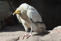 Vulture. European vulture perching on a rock Royalty Free Stock Photography