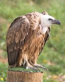 Vulture. Spanish vulture (buitre leonado royalty free stock images