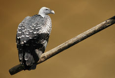 Vulture. A vulture on a branch inside a cage of a zoo Stock Photos