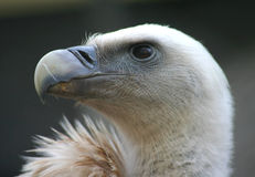 Vulture. Close up of a vulture, bird of prey Stock Photo