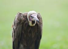 vulture Immagine Stock Libera da Diritti
