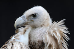 vulture Immagine Stock