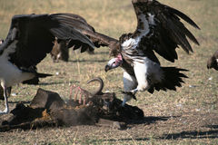 Free Vulture Stock Photography - 4250532