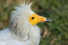 Vulture. Portrait of egyptian vulture bird Royalty Free Stock Photo