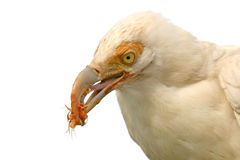 Vulture Royalty Free Stock Photography