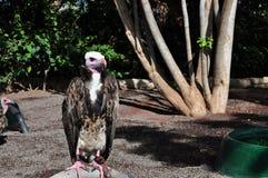 vulture Fotografia Stock