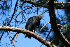Vulture. This is a Black Vulture, this picture was taken in Tampa Florida out in the wild Royalty Free Stock Photo