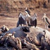 vulture Fotografie Stock Libere da Diritti