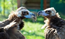 vulture Imagem de Stock