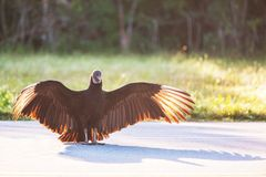 vulture Imagem de Stock Royalty Free