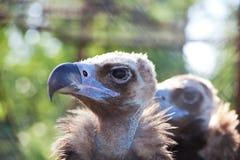 vulture Foto de Stock